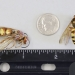 Cicada killer wasp next to ruler